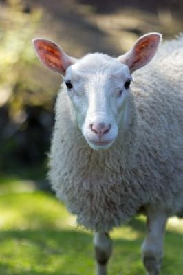 Sheep from freeDigitalPhotos dot net